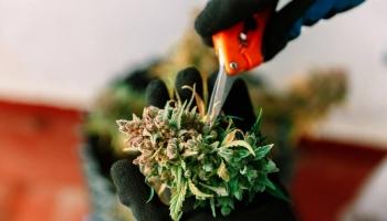 Tips for Growing Marijuana