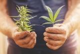 Growing Different Strains of Marijuana