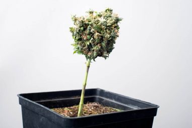 Should You Grow an Autoflower in a Spacebucket?